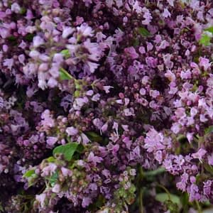 Marjoram Essential Oil Egypt